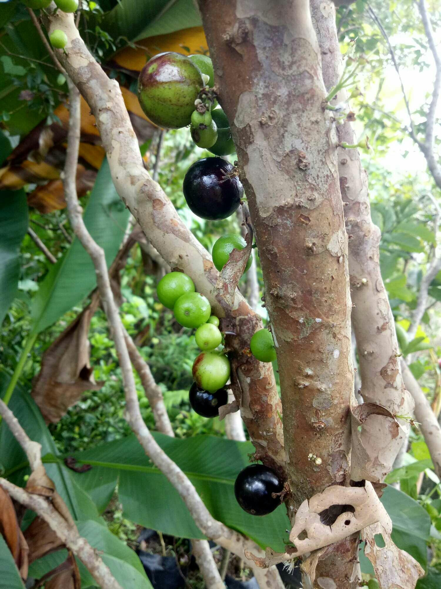 Jaboticaba From Seed