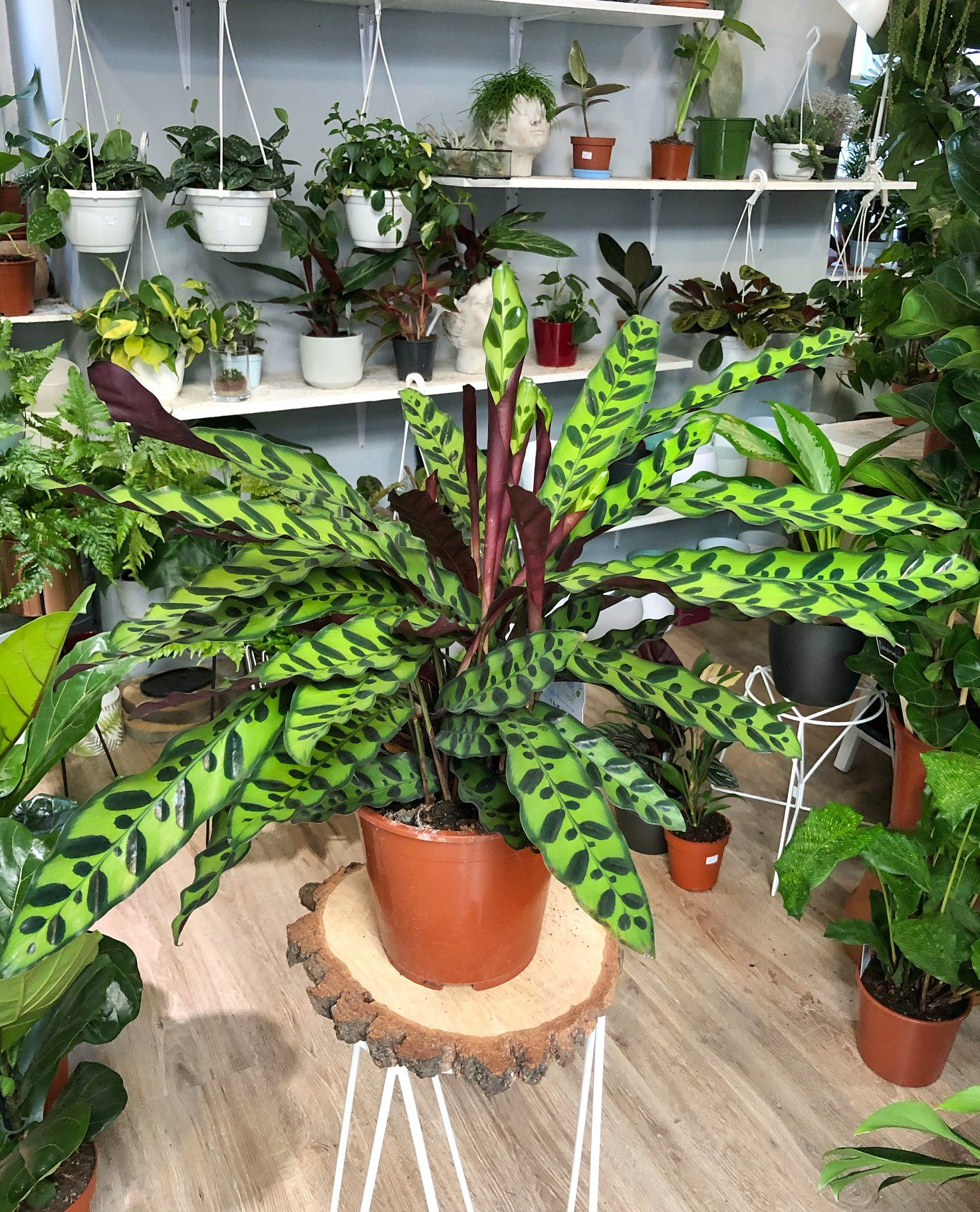 Calathea Lancifolia Rattlesnake Plant With Free Plastic Pot Pebbles And Garden Soil Indoor Plant And 4 Stocks Only Lazada Ph