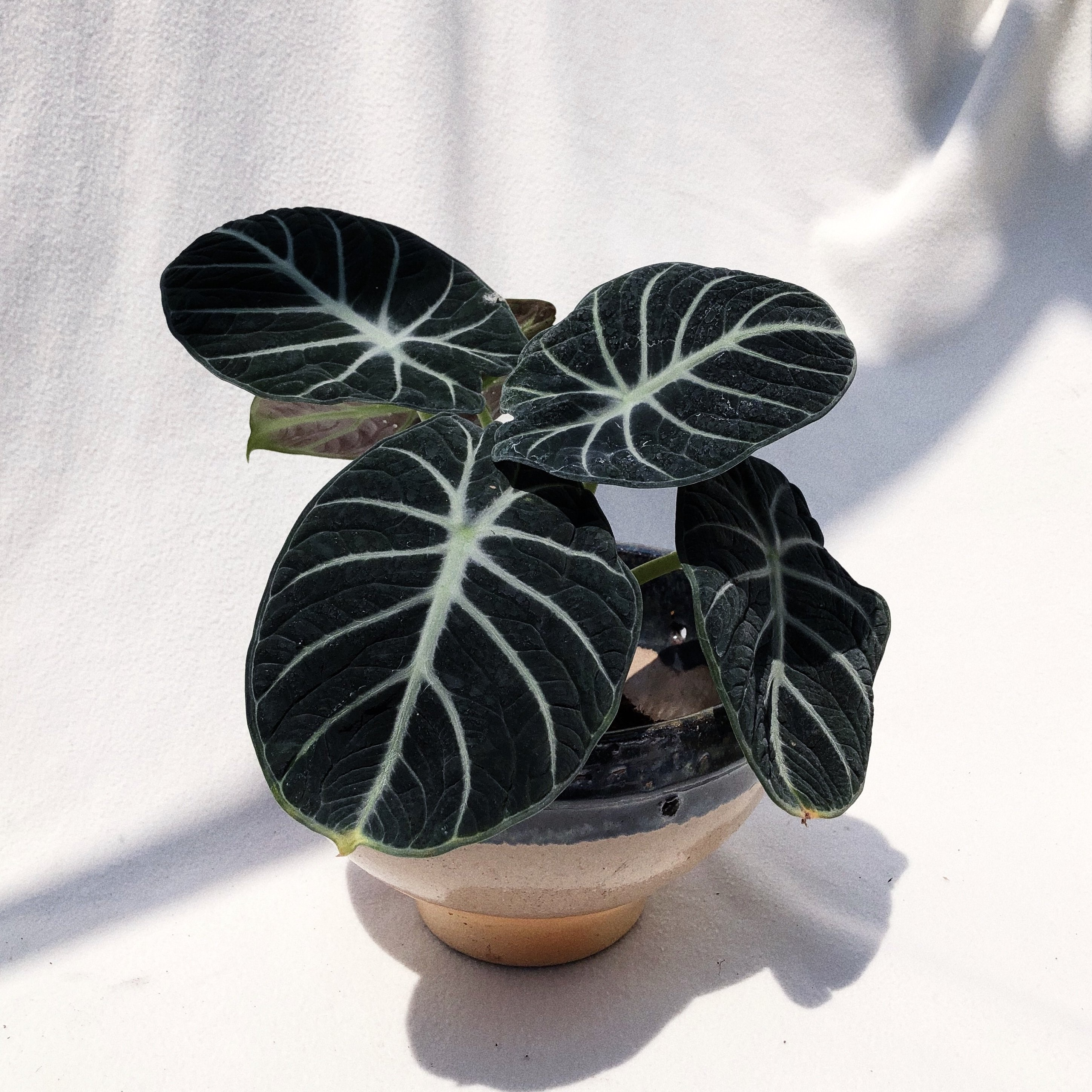 Black Velvet Alocasia Buy Sell Online Pots Planters Urns With Cheap Price Lazada Ph