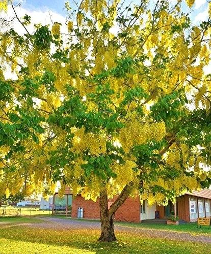 Golden Shower Tree Seeds By Ms Garden.