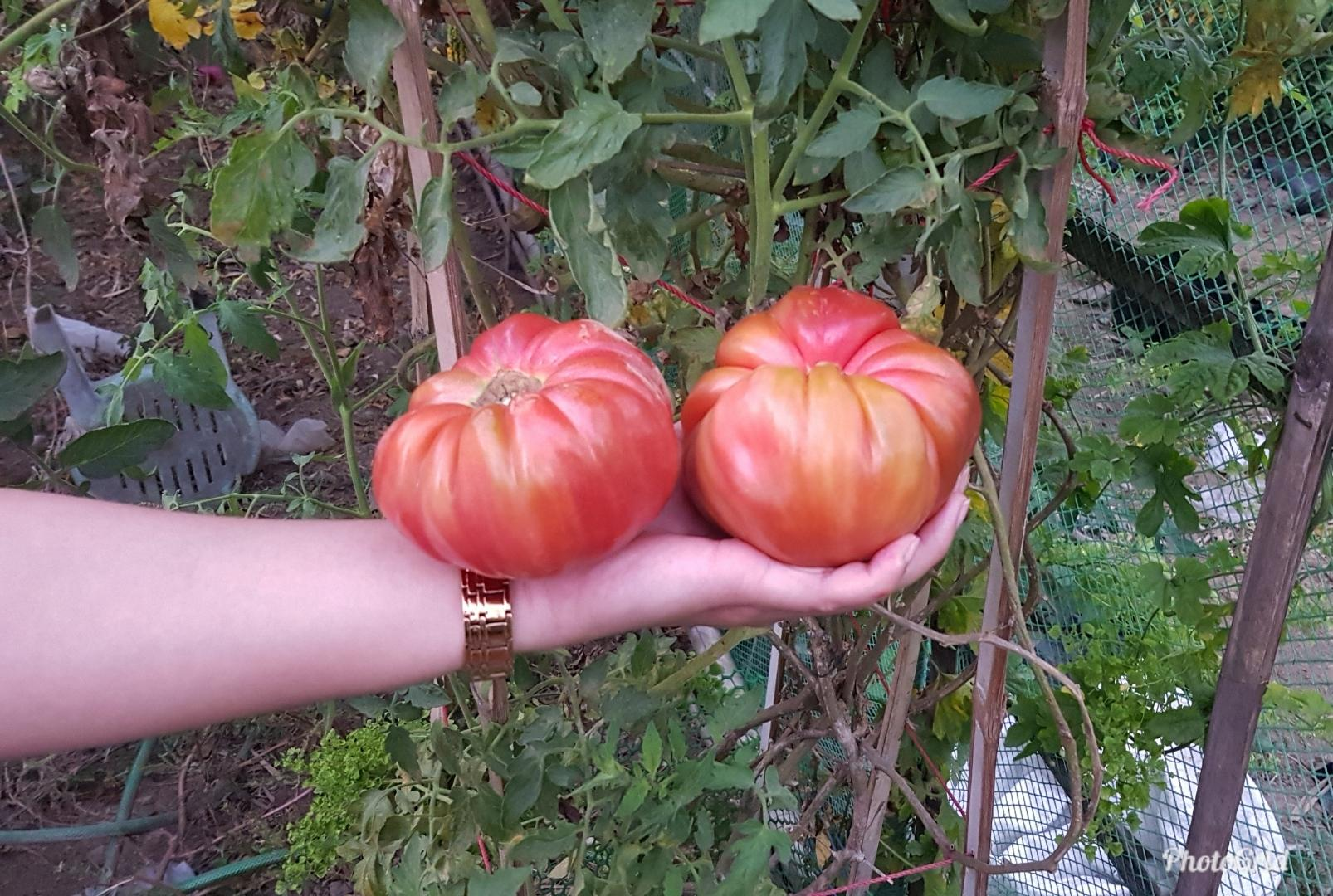 Giant Tomato Seeds By Flora And Fauna.