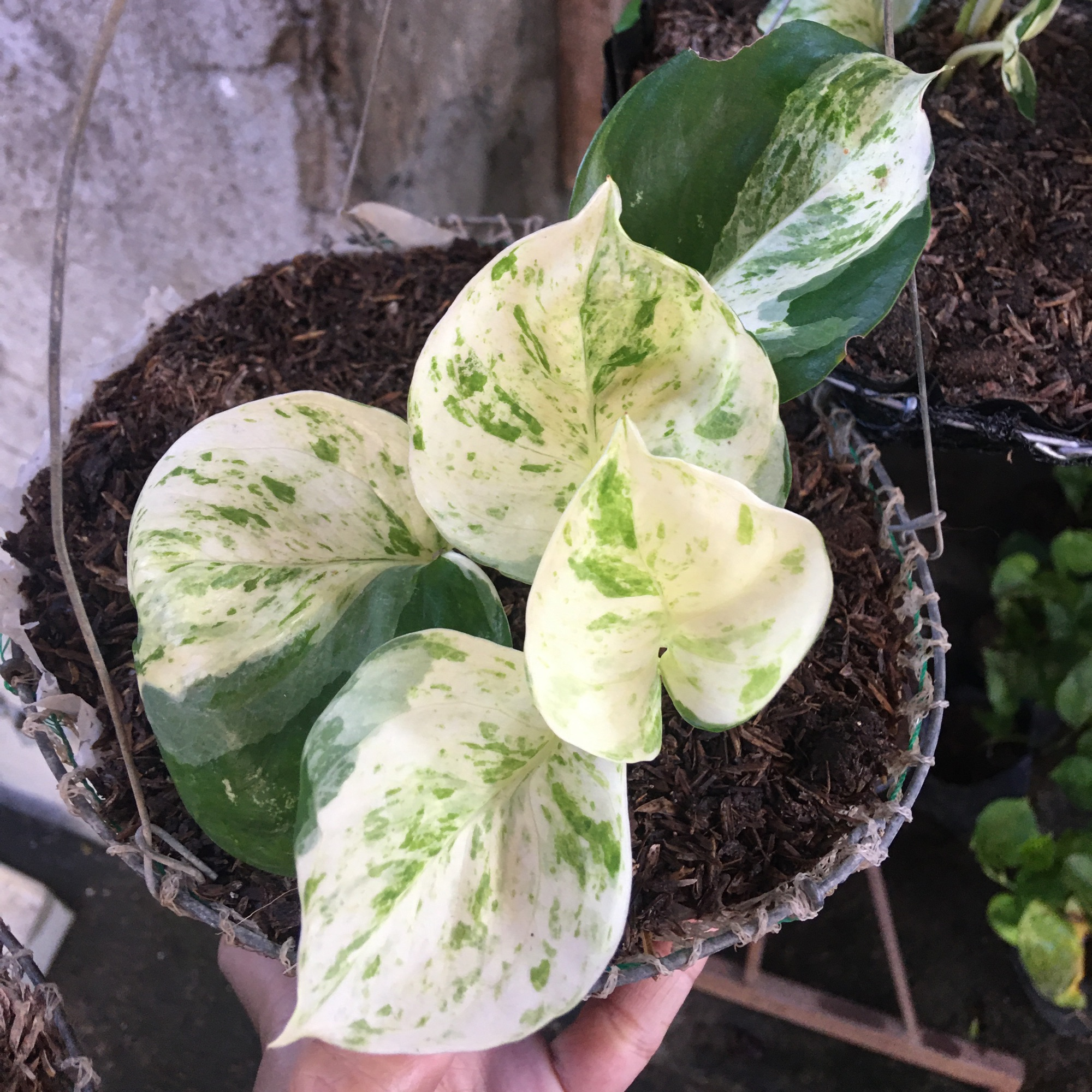 Manjula Pothos Buy Sell Online Plant Seeds And Bulbs With Cheap Price Lazada Ph