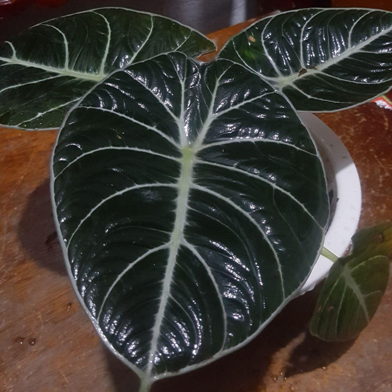 Alocasia Black Velvet Buy Sell Online Garden Decor Ornaments With Cheap Price Lazada Ph