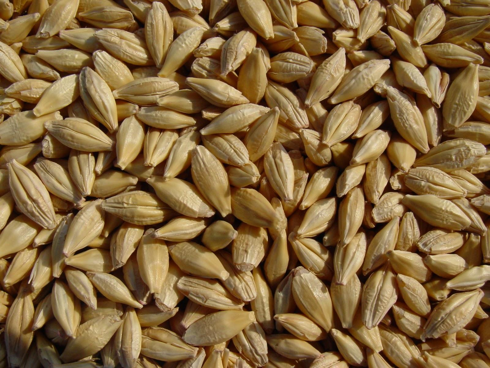 Barley Seeds (1kg) For Sprouting And Juicing By Jm Microgreens.